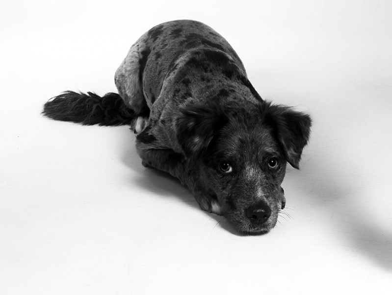 Australian_Shepard_Bella_Dog_Portraits