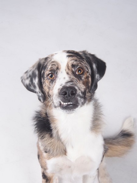 Australian_Shepard_Dog_Portraits_GS