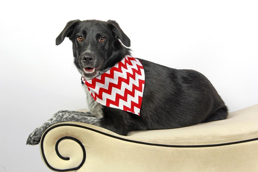 dog wearing bandana sitting on couch